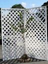 カツラ単木 1.5m露地 1本【1年間枯れ保証】【葉や形を楽しむ木】