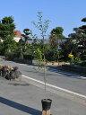 【1年間枯れ保証】【葉や形を楽しむ木】クロガネモチ 1.0m15cmポット 【あす楽対応】