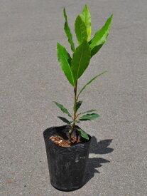 ゲッケイジュ 0.2m9.0cmポット 1本【1年間枯れ保証】【葉や形を楽しむ木】