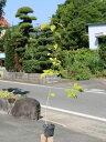 コナラ 0.7m10.5cmポット 1本【1年間枯れ保証】【山林苗木】