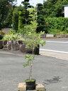 コナラ 1.0m15cmポット 1本【1年間枯れ保証】【山林苗木】