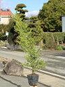 キンメツゲ 0.8m15cmポット 1本【1年間枯れ保証】【低木】