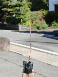 カシワバアジサイ 0.5m10.5cmポット 1本【1年間枯れ保証】【春に花が咲く木】