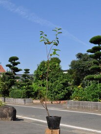 カリン 0.5m10.5cmポット 12本セット 送料無料【1年間枯れ保証】【街路樹&公園樹】