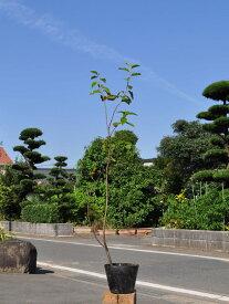 カリン 0.7m10.5cmポット 1本【1年間枯れ保証】【街路樹&公園樹】