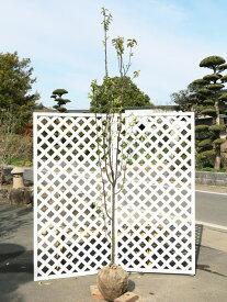 カリン単木 2.0m露地 2本セット【1年間枯れ保証】【シンボルツリー落葉】