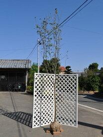 カリン単木 2.5m露地 2本セット【1年間枯れ保証】【シンボルツリー落葉】