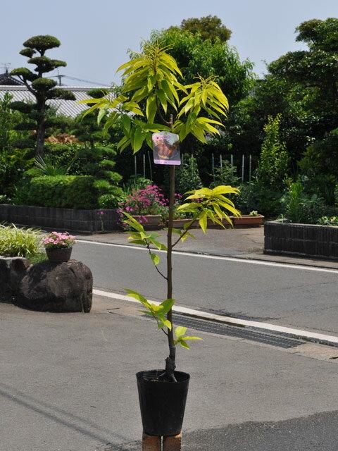 【1年間枯れ保証】【秋に収穫する果樹】クリ/銀寄 15cmポット  1本