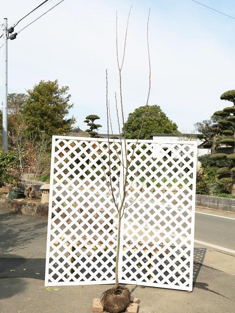 【1年間枯れ保証】【秋に収穫する果樹】クリ/銀寄 1.5m露地 1本