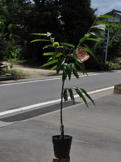 【1年間枯れ保証】【秋に収穫する果樹】クリ/国見 15cmポット  1本