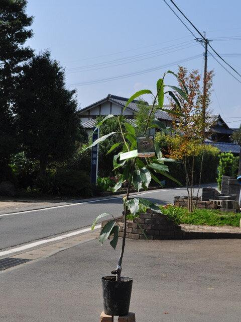 【1年間枯れ保証】【秋に収穫する果樹】クリ/秋峰 15cmポット  3本セット 送料無料