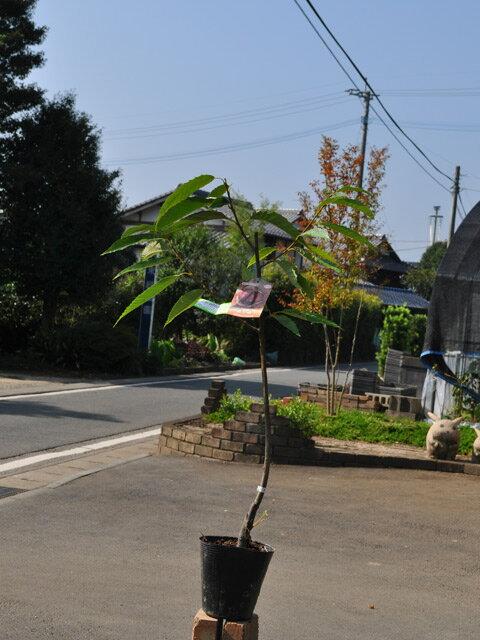 【1年間枯れ保証】【秋に収穫する果樹】クリ/紫峰 15cmポット  1本