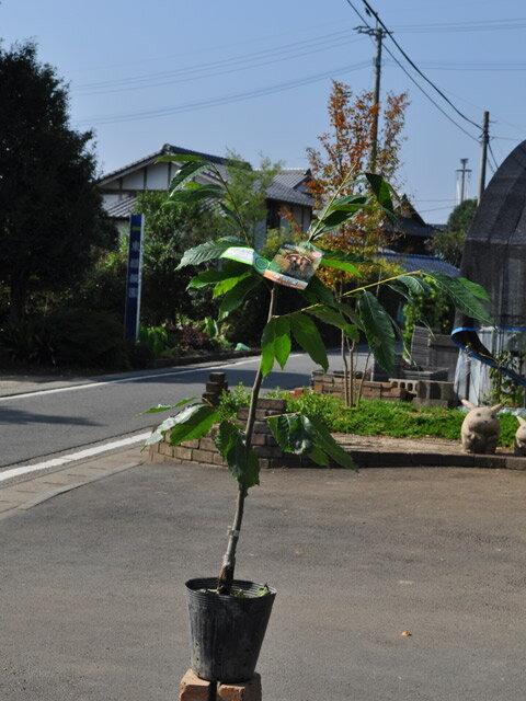 【1年間枯れ保証】【秋に収穫する果樹】クリ/美玖里 15cmポット  3本セット 送料無料