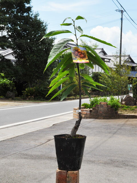 【1年間枯れ保証】【秋に収穫する果樹】クリ/石鎚 15cmポット 3本セット 送料無料