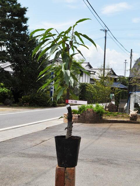 【1年間枯れ保証】【秋に収穫する果樹】クリ/大峰 15cmポット 1本