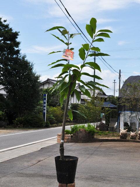 【1年間枯れ保証】【秋に収穫する果樹】クリ/天津 15cmポット 1本