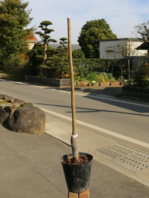 【1年間枯れ保証】【秋に収穫する果樹】クリ/利平 15cmポット  3本セット 送料無料