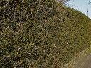 【1年間枯れ保証】【生垣樹木】カラタチ 0.3m10.5cmポット 【あす楽対応】