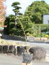 カラタチ 0.3m10.5cmポット 1本【1年間枯れ保証】【生垣樹木】