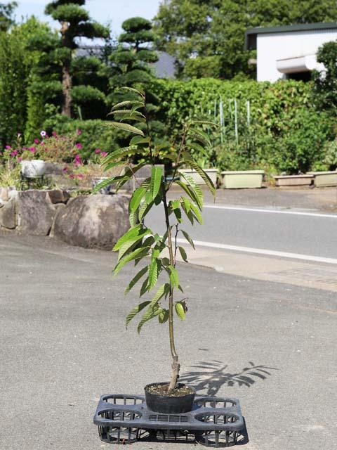 【1年間枯れ保証】【秋に収穫する果樹】クリ/杉光 15cmポット  3本セット 送料無料