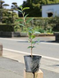 サザンカ/タチカン赤花 0.3m10.5cmポット 1本【1年間枯れ保証】【生垣樹木】