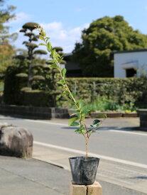 サザンカ/タチカン赤花 0.5m10.5cmポット 1本【1年間枯れ保証】【生垣樹木】