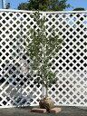 【1年間枯れ保証】【生垣樹木】サザンカ/タチカン赤花 1.5m露地 1本