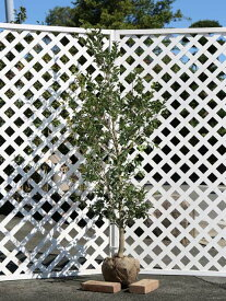 サザンカ/タチカン赤花 1.5m露地 1本【1年間枯れ保証】【生垣樹木】