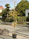【1年間枯れ保証】【生垣樹木】サンゴジュ 1.0m15cmポット 10本セット 送料無料