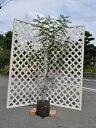 【1年間枯れ保証】【シンボルツリー常緑】シマトネリコ単木 1.5m露地 1本