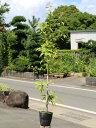 シラカシ単木 1.0m15cmポット 1本【1年間枯れ保証】【生垣樹木】