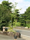 シラカシ単木 1.5m15cmポット 8本セット【1年間枯れ保証】【生垣樹木】