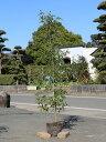 シラカシ単木 1.5m露地 3本セット 送料無料【1年間枯れ保証】【生垣樹木】