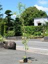 シラカシ単木 1.7m15cmポット 5本セット 【1年間枯れ保証】【生垣樹木】