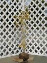【1年間枯れ保証】【シンボルツリー常緑】シラカシ株立ち 1.0m露地 3本セット 送料無料