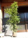 【1年間枯れ保証】【シンボルツリー常緑】シラカシ株立ち 1.5m露地 1本