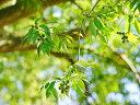 【1年間枯れ保証】【シンボルツリー常緑】シラカシ株立ち 2.5m露地 【配達指定不可/大型商品/個別送料2800円】