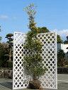 サニーフォスター単木 2.5m露地 1本【1年間枯れ保証】【シンボルツリー常緑】