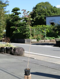サルスベリ 0.7m10.5cmポット 30本セット 送料無料【1年間枯れ保証】【夏に花が咲く木】