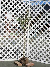 サルスベリ単木 1.2m露地 2本セット 送料無料【1年間枯れ保証】【シンボルツリー落葉】