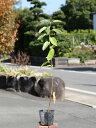 ジューンベリー 0.5m10.5cmポット 1本【1年間枯れ保証】【紅葉が美しい木】