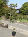 ソヨゴ 0.5m15cmポット 1本【1年間枯れ保証】【葉や形を楽しむ木】