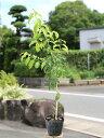 ソヨゴ 0.7m10.5cmポット 1本【1年間枯れ保証】【葉や形を楽しむ木】