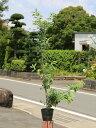 ソヨゴ 1.0m15cmポット 1本【1年間枯れ保証】【葉や形を楽しむ木】
