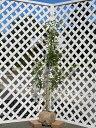 【1年間枯れ保証】【シンボルツリー常緑】ソヨゴ単木 1.5m露地 1本