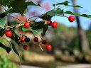 【1年間枯れ保証】【シンボルツリー常緑】ソヨゴ株立ち 1.7m露地 【あす楽対応】