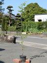 ソメイヨシノ 1.5m18cmポット 1本【1年間枯れ保証】【街路樹&公園樹】