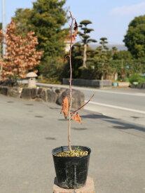 シロモジ 0.3m10.5cmポット 1本【1年間枯れ保証】【山林苗木】