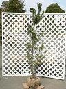 【1年間枯れ保証】【低木】ヒメシャリンバイ 1.5m露地 【あす楽対応】