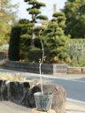 サンショウ 0.3m 1本【1年間枯れ保証】【葉や形を楽しむ木】